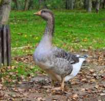 Сколько весит взрослый гусь. Максимальный и средний вес гуся: домашнее птицеводство