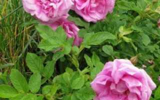 Плоды розы ругозы. Сорта розы Ругозы: правила выращивания и особенности ухода