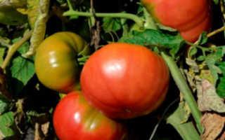 Томат розовый бизон. Особенности выращивания томатов «Сахарный бизон» в теплицах