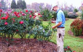 Почвопокровные розы уход осенью подготовка к зиме. Подготовка роз к зиме: все важные нюансы