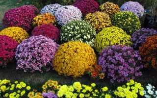 Хризантемы размножение семенами. Выращивание хризантем из семян