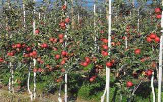 Расстояние между колоновидными яблонями. Расстояние между яблонями при посадке – полезные советы