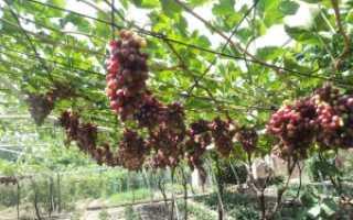 Обрезка винограда неукрывного осенью на беседке. Весенняя обрезка винограда: технология и особенности для регионов