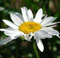 Нивяник фото и описание. Нивяник многолетний: фото и описание цветов