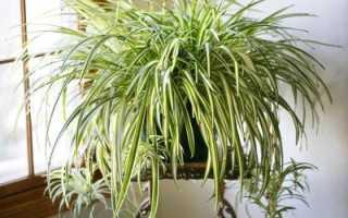 Почему чернеют кончики листьев у хлорофитума. Хлорофитум крылатый. Чернеют листья