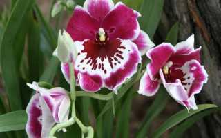Мильтония сорта. Орхидея мильтония – обильноцветущая красавица