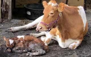 После отела корова плохо ест. Чем может заболеть корова после отела?