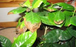 Почему у азалии чернеют листья. Что делать, если у азалии чернеют и опадают листья?