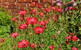 Лён крупноцветковый посадка и уход фото. Лен крупноцветковый: выращивание из семян, правила посадки и ухода