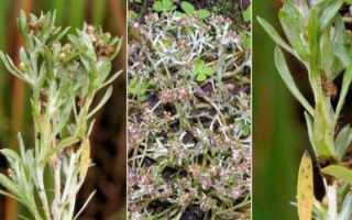 Сушеница болотная лечебные. Сушеница топяная: лечебные свойства и противопоказания