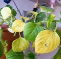 Почему желтеют листья у ваньки мокрого. У бальзамина (ванька мокрый) желтеют листья. почему?