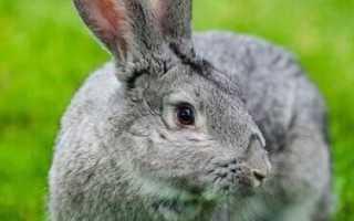 Кролики советская шиншилла описание. Кролики породы советская шиншилла