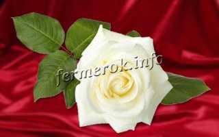 Роза парковая белая сорта. Парковые розы сорта