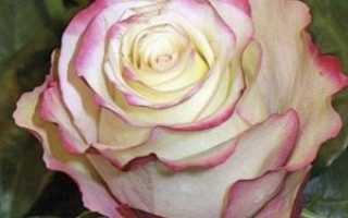 Свитнес розы фото. Роза свитнес: посадка и уход в открытом грунте