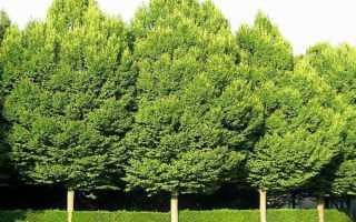 Растение граб фото. Граб дерево: фото и описание