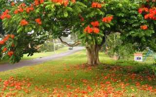 Спатодея из семян. Спатодея (Тюльпанное дерево)