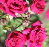 Роза макарена фото и описание. Macarena (Макарена) СПР.
