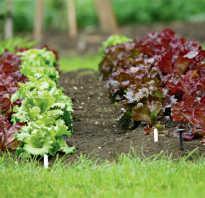 Разновидности салата листового. 14 самых популярных видов листьев салата