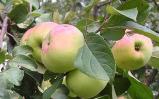 Яблоня имрус описание сорта фото отзывы. Яблоня «Имрус»: описание сорта, фото и отзывы
